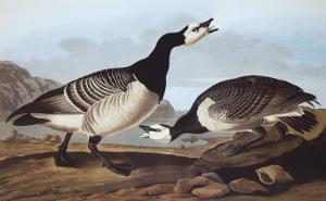 Barnacle Goose by John James Audubon