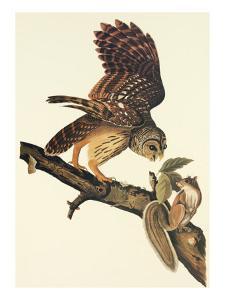 Barred Owl by John James Audubon