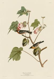 Bay-Breasted Warbler by John James Audubon