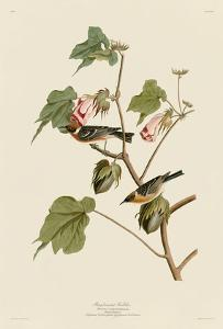 Bay-Breasted Warbler by John James Audubon