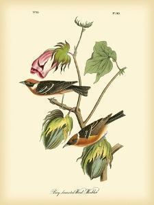 Bay Breasted Wood-Warbler by John James Audubon