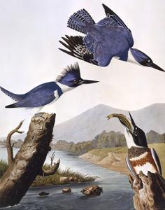 Belted Kingfishe by John James Audubon