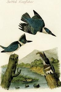 Belted Kingfisher by John James Audubon