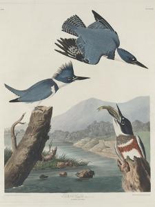 Belted Kingsfisher, 1830 by John James Audubon