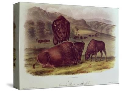 Bison from Quadrupeds of North America (1842-5)