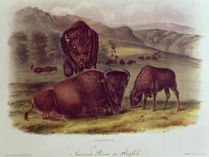 Bison from Quadrupeds of North America (1842-5) by John James Audubon