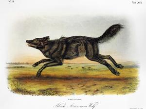 Black American Wolf by John James Audubon