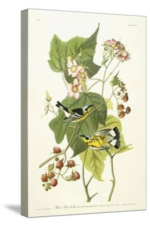 Black and Yellow Warbler and Flowering Raspberry, C.1826-1838