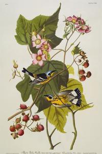 Black and Yellow Warbler. Magnolia Warbler by John James Audubon