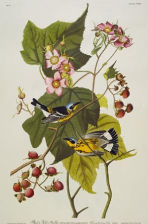 Black and Yellow Warbler. Magnolia Warbler