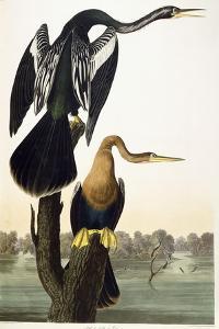 Black-Bellied Darter, 1836 by John James Audubon