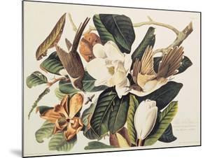 Black-Billed Cuckoo on Magnolia Grandiflora, 1828 by John James Audubon
