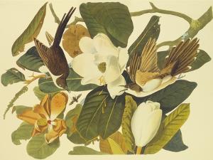 Black-Billed Cuckoo by John James Audubon