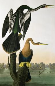 Black-Billed Darter, from 'Birds of America', engraved by Robert Havell by John James Audubon