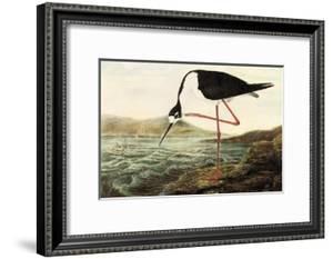 Black-necked Stilt by John James Audubon