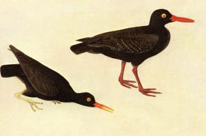 Black Oystercatcher by John James Audubon