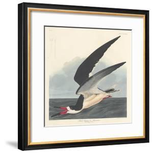 Black Skimmer, 1836 by John James Audubon