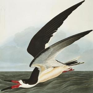 Black Skimmer or Shearwater. Black Skimmer (Rynchops Niger), from 'The Birds of America' by John James Audubon
