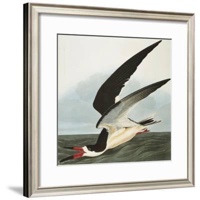 Black Skimmer or Shearwater. Black Skimmer (Rynchops Niger), from 'The Birds of America'