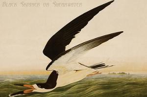Black Skimmer or Shearwater by John James Audubon