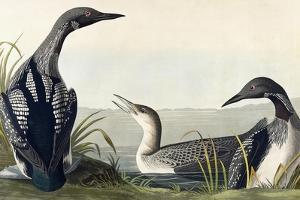 Black-Throated Diver by John James Audubon