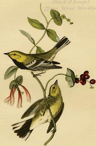 Black Throated Green Wood Warbler by John James Audubon
