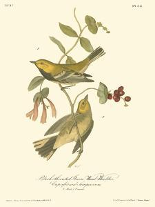 Black-Throated Green Wood Warbler by John James Audubon