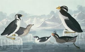 Black-Throated Guillemot, Nobbed-Billed Auk, Curled-Crested Auk, Horn-Billed Guillemot by John James Audubon