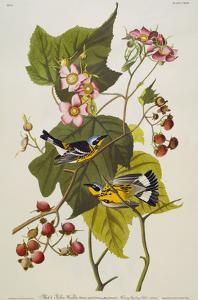 Black & Yellow Magnolia Warbler (Dendroica Magnolia), Plate CXXIII, from 'The Birds of America' by John James Audubon
