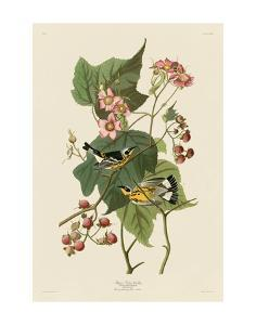 Black & Yellow Warblers by John James Audubon
