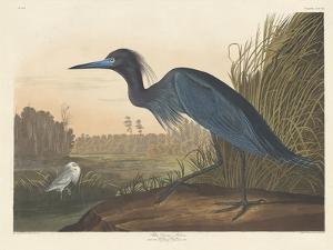 Blue Crane or Heron, 1836 by John James Audubon
