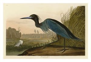 Blue Crane or Heron by John James Audubon