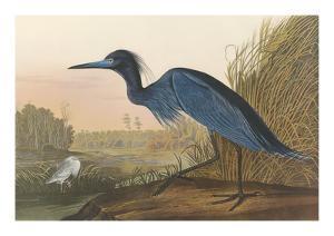 Blue Crane by John James Audubon