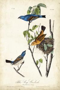 Blue Song Grosbeak by John James Audubon