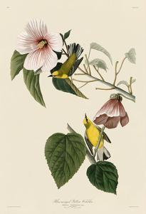 Blue-Winged Yellow Warbler by John James Audubon
