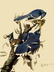 Bluejays Feeding by John James Audubon