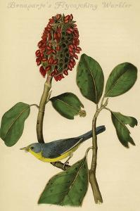 Bonaparte's Flycatching Warbler by John James Audubon