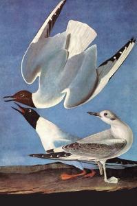 Bonapartes Gull by John James Audubon