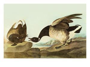 Brant by John James Audubon
