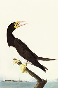 Brown Booby by John James Audubon