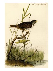 Brown Finch by John James Audubon