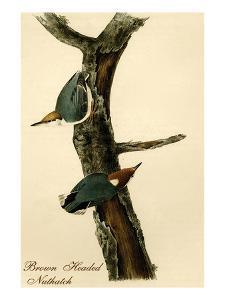 Brown Headed Nuthatch by John James Audubon