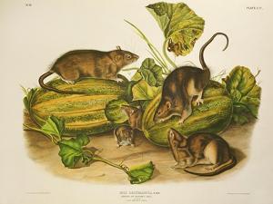 Brown, or Norway Rat, Engraved by John T. Bowen (1801-C.56) Published 1845 by John James Audubon