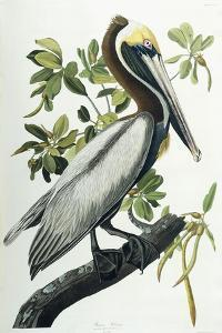 Brown Pelican, 1835 by John James Audubon
