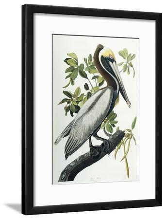 Brown Pelican, 1835