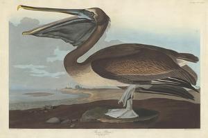 Brown Pelican, 1838 by John James Audubon