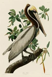 Brown Pelican II by John James Audubon