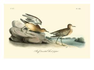 Buff-Breasted Sandpiper by John James Audubon