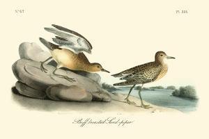 Buff breasted Sandpiper by John James Audubon