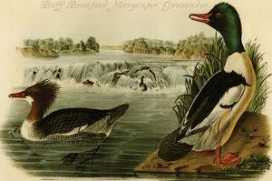 Buff-Breatsed Merganter Goosander by John James Audubon